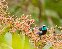 A Blue-necked Tanager with fruits. The Blue-necked Tanager(Tangara cyanicollis) is as colorful as most Tanagers of the peruvian Amazon Stock Photography