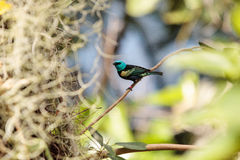 Blue necked tanager scientifically known as Tangara cyanicoilis Stock Photos