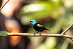 Blue necked tanager scientifically known as Tangara cyanicoilis Stock Image