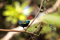 Blue necked tanager scientifically known as Tangara cyanicoilis Stock Photography
