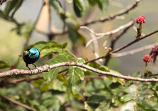 Blue necked tanager scientifically known as Tangara cyanicoilis Royalty Free Stock Image