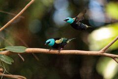 Blue necked tanager scientifically known as Tangara cyanicoilis Stock Photo