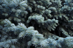 Blue needles Stock Photography