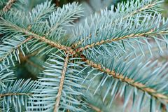 Blue needles on the young branch of the spruce Stock Photography