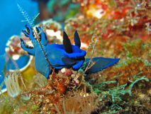 Blue Neon Slug. A form of sea slug on a coral reef in Bali, Indonesia Stock Photos