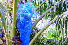 Blue net wrapped coconut fruits for pest protection Royalty Free Stock Images