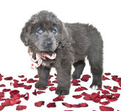 I Love You Puppy Stock Photo