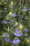 Blue nigella damascena. Love-in-a-mist closeup in flower bed Stock Photo