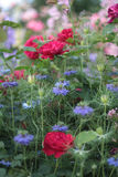 Blue nigella and red roses. Blue nigella damascena love-in-a-mist and red roses in a beautiful flower bed in a cottage garden Stock Photography