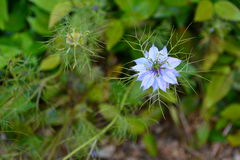 Blue nigella flower Royalty Free Stock Images