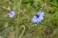 Blue nigella flower Royalty Free Stock Photography
