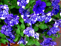 Blue Night Sky Petunia flowers Royalty Free Stock Image
