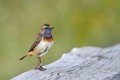 Blue nightingale Royalty Free Stock Image