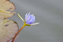 Blue Nile Water Lily Stock Images