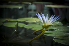 Blue Nile Waterlily (Nymphaea Caerulea) Flower Stock Photos