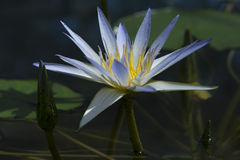 Blue Nile Waterlily (Nymphaea Caerulea) Stock Photos