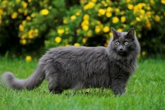 Norwegian forest cat female with yellow flowers on the background Stock Image