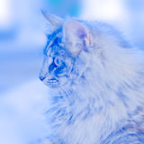 Blue norwegian forest cat Royalty Free Stock Images