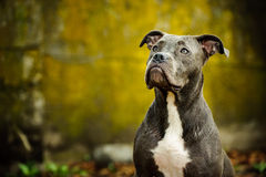 Blue Nose American Pit Bull Terrier dog. Portrait against grungy moss wall Royalty Free Stock Image