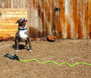 Blue Nose Pit Bull near water sprinkler Royalty Free Stock Photography