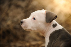 Blue nose Pit Bull Terrier puppy dog Royalty Free Stock Photos