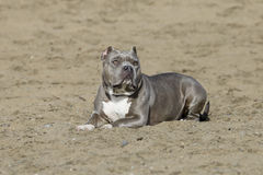Blue Nose Pitbull posing in the sand stock photography
