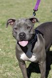 Blue Nose Pitbull smiling Royalty Free Stock Photo