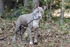 Bluenose Pitbull Terrier mixed breed puppy dog. Blue nose young male American Pitbull Terrier mixed breed puppy dog with erect ears and head tilt. Outdoor Pet Royalty Free Stock Image