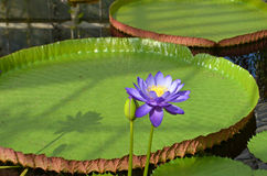 Blue Nymphaea Royalty Free Stock Photography