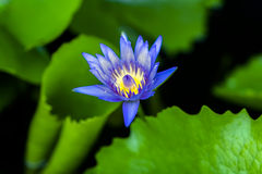 Blue Nymphaea. Stock Images