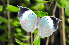 Blue oak leaf butterfly Royalty Free Stock Photos