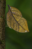Blue Oakleaf Butterfly Stock Photos