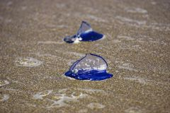 Velella velella on shore in New Zealand stock photos