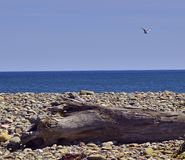 Blue ocean driftwood seagull 3583 A royalty free stock photography