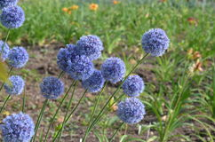 Blue onions. Blooming blue onions Allium caeruleum from Kyrgyzstan Royalty Free Stock Photo
