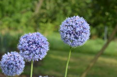 Blue onions. Blooming blue onions Allium caeruleum from Kyrgyzstan Royalty Free Stock Photography