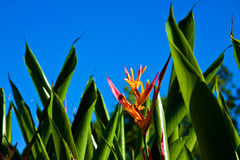 Blue and Orange Bird of Paradise. A close up shot of a blue and orange bird of paradise flower Stock Images