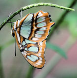 Blue and orange butterfly Stock Photography