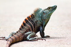 Blue and Orange Crested Costa Rican Iguana Royalty Free Stock Photos