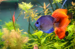 Blue and orange discus Royalty Free Stock Images