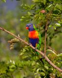Blue Orange and Green Parrot Resting on Brown Branch Stock Photos