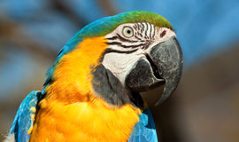 Blue and orange parrot. Looking closeup detail bright colour Stock Images