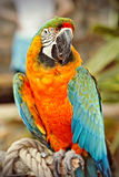 Blue and orange parrot Royalty Free Stock Images