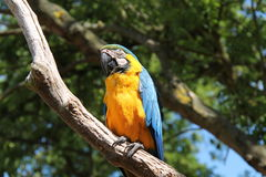 Blue and Orange Parrot. Stock Images