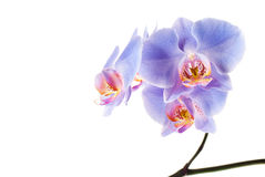 Blue Orchid. On the white background Royalty Free Stock Images