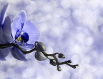 Blue orchid Royalty Free Stock Images