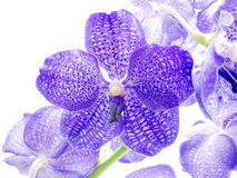 Blue Orchid. Vanda Coerulea, isolated on white background royalty free stock photos