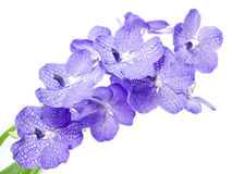 Blue Orchid. Vanda Coerulea, isolated on white background Stock Images