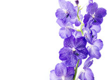 Blue Orchid Royalty Free Stock Photo