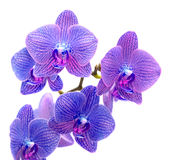 Blue orchid Royalty Free Stock Photos